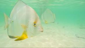 Möchtegern-Menschenfresser-Fisch