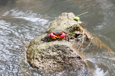 rote Krabbe