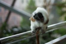 ein komischer Affe