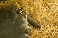 eine lange Nase hat der Ameisenbär aber schon